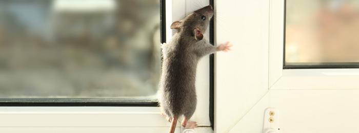 ネズミ対策には、隙間埋めが最も有効だった!~ネズミ対策の権威コリガン博士が語る~
